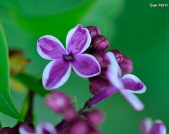 Purple Flower Photograph, card or magnet, Shabby Chic, Romantic Decor, Close Up Flower Photography, Purple Lilacs