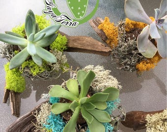 Mounted on Driftwood with MOSS and succulent plant or cactus