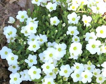 Sandwort (Arenaria Montana) - perennial plants - live plants - rock garden plant - white flowers - white ground cover - alpine plants