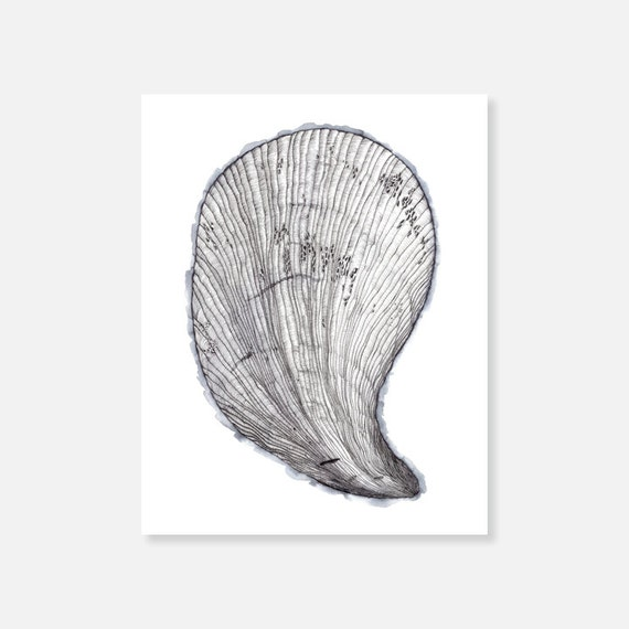 MUSSEL SHELL : Archival Print on Etching Paper, Hand-Drawn Shell