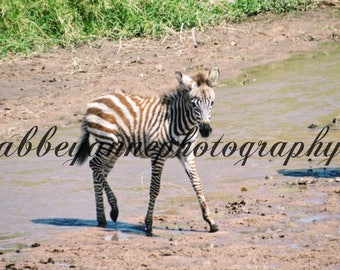 Baby Zebra Photo