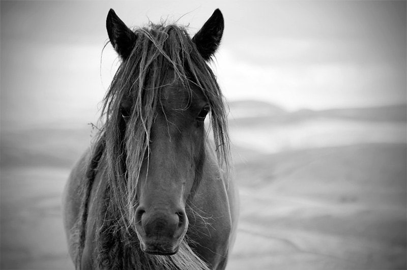 Black And White Pictures Of Horses