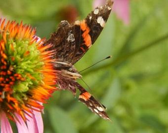 Butterfly on a Purple Cone Flower: Digital Print DSCN 8335