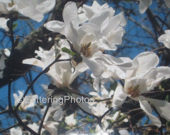 White, Magnolia, Tree, Blooming, Fine Art, Photography, Print, 8 x 10, Glossy, OOAK