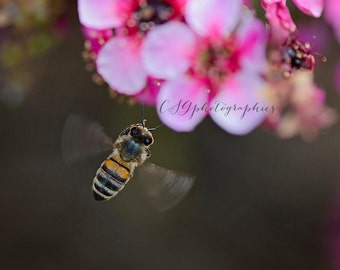 Fine Art Print Cherry Blossom Busy Bee