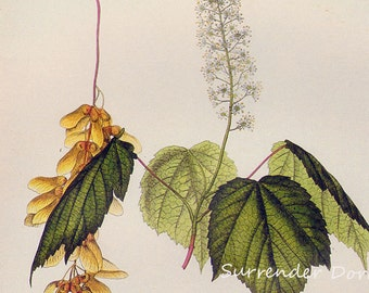 Mountain Maple Tree Acer Spiccatum Prestele Vintage Poster Print Botanical Lithograph To Frame 197