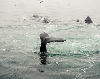 Whale Photograph - Wildlife Photography - Humpback - Ocean Photography - Seascape - Ocean Art - Nautical Wall Art - Beach Cottage Art