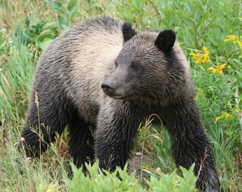Grizzly Cub Photograph, Nature Photography, Bear Photo