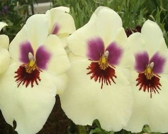Miltoniopsis Ambre's Charm 'Cream Puff' orchid in spike now