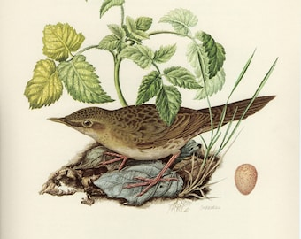 Vintage lithograph of the common grasshopper warbler from 1953