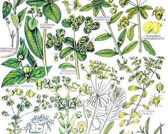 Flower Print - Sea Buckthorn, Irish Spurge, Annual Mercury, Mistletoe - Vintage Botanical Print -Book Page - 76