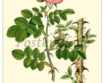 SWEET BRIAR ROSE - Vintage Botanical art card print reproduction -  292