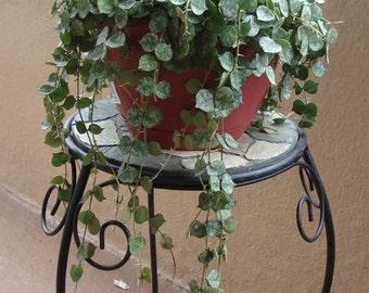 Hoya Curtisii - Starter Plant