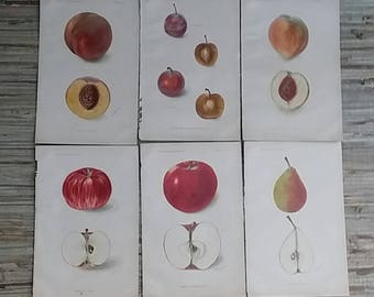 Vintage Book Pages From The Yearbook Of The U.S. Dept Of Agriculture 1902 Apples Pears Plums Peaches Algae Almonds Bird