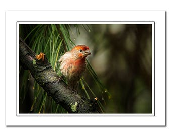 House Finch Bird Note Card with Envelope, Avain Photography Card, Blank Nature Greeting Card, Thank You Card, blank note card