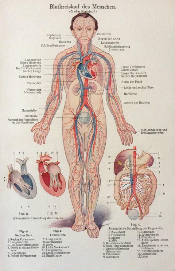 Jahrgang der 1920er Jahre deutsche menschliche Anatomie