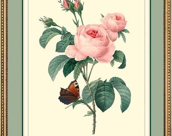 Botanical print - Redoute Rose antique print reproduction