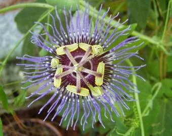 Passiflora Blue Boquet Plant