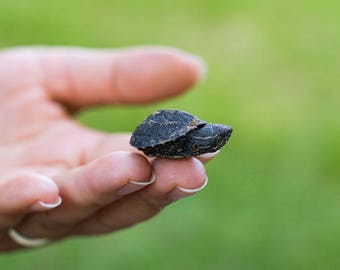 Photo print of a Baby musk turtle