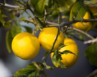 Lemon Tree Art Print Photograph Citrus Fruit Home Decor Kitchen Cafe Bar  Dining Room Decor Yellow