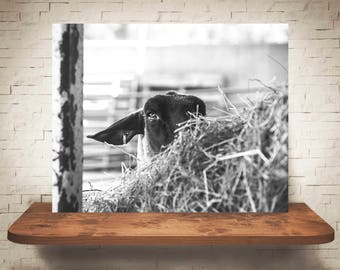Sheep Photograph - Fine Art Print - Black White Photo -  Wall Art - Farmhouse Decor - Pictures of Sheep - Rustic Decor - Wall Art - Country
