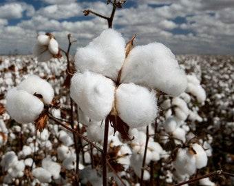 Arizona Wild Cotton Seeds (Gossypium thurberi) 20+Seeds