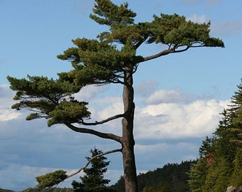 5 x 7 Greeting Card with Envelope - Bonsai Giant, Bar Harbor, Mt. Desert Island, Maine, Acadia National Park, Seascape, Rocks