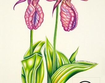 Lady Slippers - Pencil Drawing Flower Fine Art Print