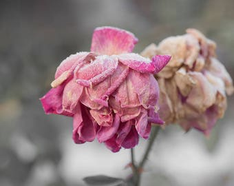 last rose of the season-flower photography - frost -flower photo- cottage garden photo - Original fine art photography prints- FREE Shipping