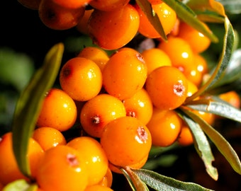 Organic Sea Buckthorn Oil CO2 Extract, UNREFINED, new miracle skin oil is Sea Buckthorn Berry Oil for wrinkles, rosacea, & acne.