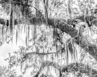 Fine art photography, photography prints, download, printable black and white wall art of Live Oak trees in Savannah Georgia