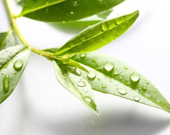 Tea Tree 100 % Pure Essential Oil