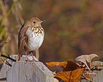 Animal Photograph, Bird Photography, Brown and White Wall Art, Hermit Thrush Photo, Cute Bird Photo, Girls Room, Nursery Wall Art, Wildlife