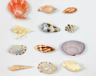 Beach Weddings - Small Specimen Shells - Set of 10 - Escort Cards Favors Mermaid Party Coastal sea shells