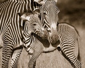 BABY ZEBRA and MOM Photo,...