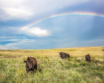 Buffalo Art, Buffalo Picture, Bison Calf, Rainbow Photography, Buffalo Fine Art, Prairie Landscape, Rainbow Bison, Animal Rainbow, Photo Art