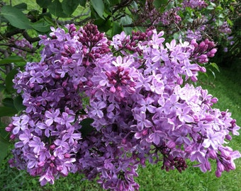 AMELIA'S LILACS, photography, purple lilac, floral, flowers, 5x7, wall home decor, nature, gaia, mother earth, spring, feminine, sweet, zen
