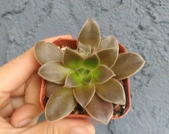 "Echeveria Diffractens Rare Succulent Plant 2"""