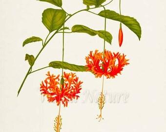Coral Hibiscus Flower Art Print, Botanical Art Print, Flower Wall Art, Flower Print, Floral Print, Orange Flower, Orange Flower Print
