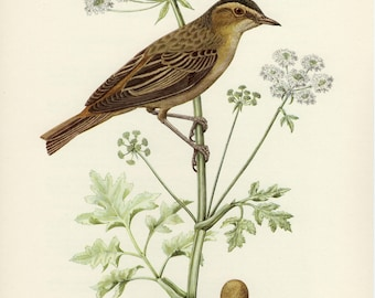 Vintage lithograph of the sedge warbler from 1953