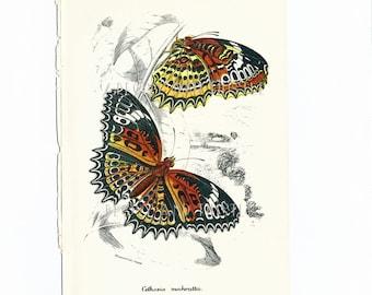 Antique Butterfly Print, Art, Housewares, Cethosia mahratta Butterflies, Nature, Antique Print, Supplies