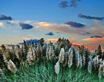 Pampus Grass