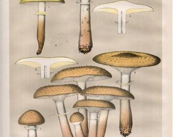 ARMILLARIA MELLEA 1895 Original Lithograph Mushroom Color Plate Charles H. Peck & C. Fausel an Edible 1800s