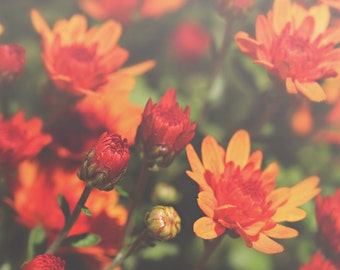 Sunset Orange Mum Color Photo Print { sunshine, sunlight, flower, orange, bud, bloom, red, wall art, macro, nature & fine art photography }