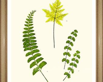 "Botanical Prints. Fern Print #3. Foliage Wall Art. Fern Prints. 5x7"" 8x10"" 11x14"""