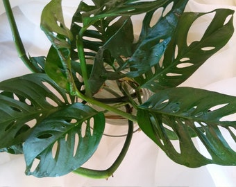 """1 Rare """"SWISS CHEESE PHILODENDRON Cutting"""" Gotta Love The Make You Smile Holes!!! Beautiful Specimen Plant!!!"""