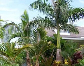 100 Royal Palm Tree Seeds, Roystonea Regia