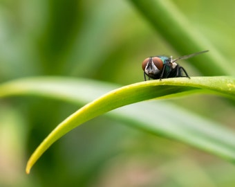 Green Bottle Fly Fine Art Photo Print - Insect Photo - Macro Photography - Wildlife Photography -Nature Photography -Gifts for Nature Lovers