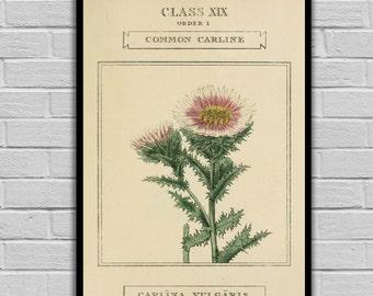 Vintage Flower Art - Common Carline Thistle - Vintage Botanical Art Print - Floral Print/Canvas -  Botanical Wall Prints - 215
