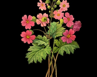 Botanical Print with Black Background - Primrose Print - Flower Poster - Red Redoute Wall Art Home Decor #vi784